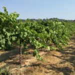 How Grapevines beat the heat