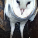 Barn Owls a welcome addition to Our Farm